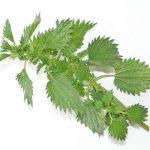 Kopřiva – královna bylinek pro vaše zdraví