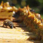 Propolis – je snad zázračný? Jaké jsou účinky propolisu na zdraví?