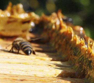 Propolis - je snad zázračný? Jaké jsou účinky propolisu na zdraví?