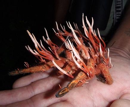 Housenice čínská (cordyceps) - tibetský klenot a všelék