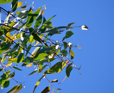 Eukalyptus (blahovičník) je super - na nachlazení i jako repelent