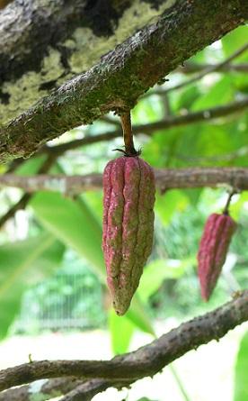 Kakaové boby, ze kterých se vyrábí kakaové máslo