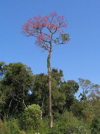 Strom Lapacho, ze kterého se čaj připravuje