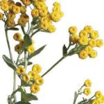 Balsamita máří list – super bylinka na problémy s trávením