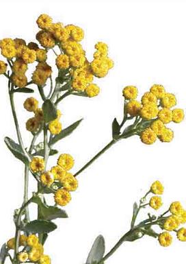 Balsamita máří list - super bylinka na problémy s trávením