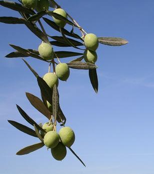 Zdravé olivy - proč je jíst? Máme pro vás spoustu zdravých důvodů