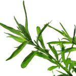 Estragon (pelyněk) a jeho použití: pro zdraví i do kuchyně