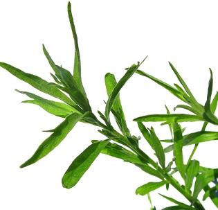 Estragon obsahuje látky, které mají vynikající účinek na trávení, povzbuzuje totiž vylučování trávících šťáv a zvyšuje tak chuť k jídlu.