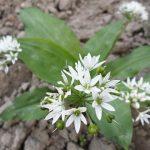 Medvědí česnek (Allium ursinum) a zdraví – má opravdovou léčivou sílu