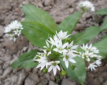 Medvědí česnek (Allium ursinum) a zdraví - má opravdovou léčivou sílu