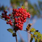 Olej z jeřabiny ptačí a zdraví – na co se dá použít?