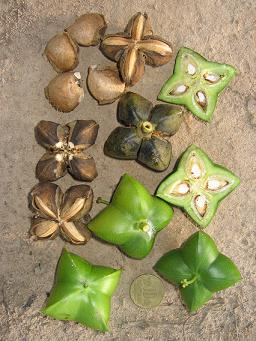 Sacha Inchi - zdravé oříšky z Peru - zkuste i olej z nich
