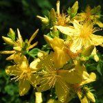 Třezalkový olej a třezalka – má přímo magiské vlastnosti