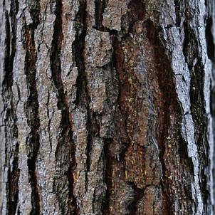 Pycnogenol je extraktem z kůry jihofrancouzské borovice