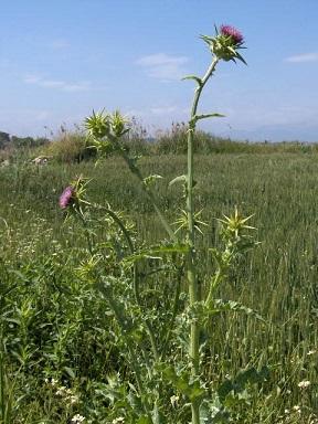 Ostropestřec mariánský je 60 až 150 cm vysoká bylina