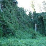 Kořen a čaj Kuzu (Kudzu) – na snižování teploty i závislost na alkoholu