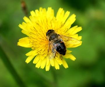 Včelí pyl je prevencí zácpy i průjmy