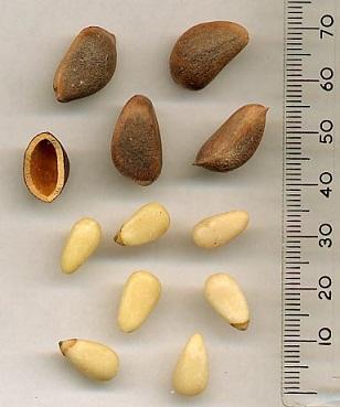 Piniové oříšky jsou vynikajícím zdrojem vitamínů skupiny B-komplex...