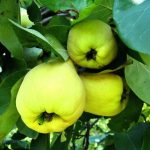 Kdoule a zdraví – neprávem opomíjené ovoce