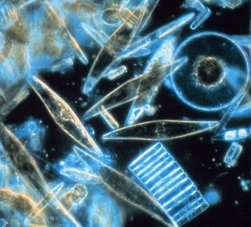 Mořský fytoplankton