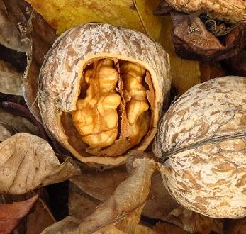 Vlašské ořechy podporují plodnost mužů i žen...