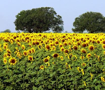 I olej ze slunečnicových semínek může být zdraví prospěšný