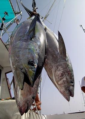 Ryby, ba i ty mastnější jako tuňák, jsou právě při redukční dietě velmi vhodné.