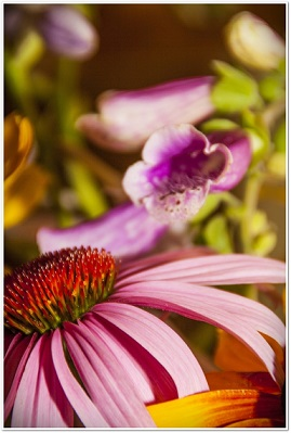 Echinacea aktivuje bílé krvinky chránící tělo před nebezpečnými látkami a škodlivými mikroorganismy