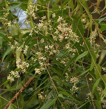 Listy a květy stromu neem (nimba)