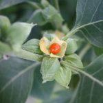 Ašvaganda (Ašvagandha či Ashwagandha) – indický ženšen, ajurvédská bylinka