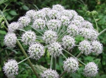 Rozpuk jízlivý patří mezi jedovaté rostliny...