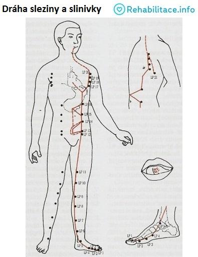 slezina-slinivka