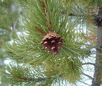 borovice-zdravi