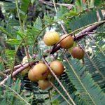 Triphala a její účinky – co umí tento bylinný přípravek?