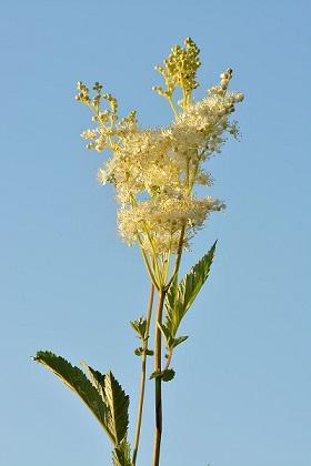 Květiny tužebníku v sobě ukrývají bohatý zdroj vitaminu C, hořčíku, železa a oxidu křemičitého.