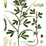 Pískavice řecké seno a její účinky na naše zdraví
