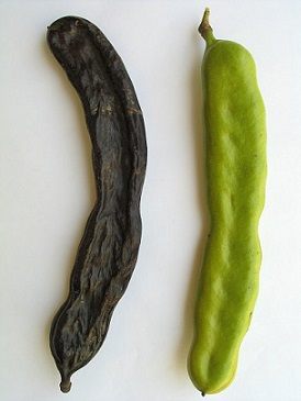 Zelené a sušené plody karobu
