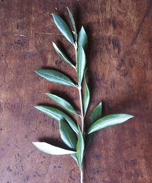 Olivové listy a jejich složka oleuropein jsou nejvíce známé pro účinek na snížení krevního tlaku