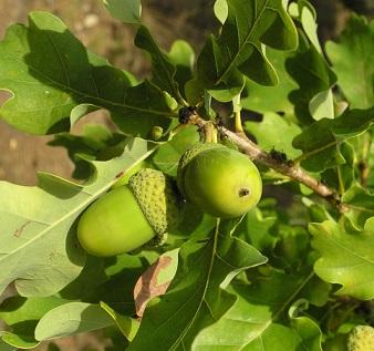 Dubová kůra a dub - přínosy pro zdraví