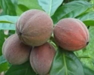Blushwood a zdraví - ovoce, které doslova zabíjí rakovinu