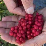 Schizandra neboli Klanopraška čínská a zdraví – na co je dobrá?