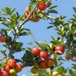 Acerola (tropická třešeň) a zdraví – na co je dobrá a co obsahuje?