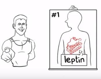 Leptin v zásadě ovlivňuje metabolismus, výdej energie a také hlad.