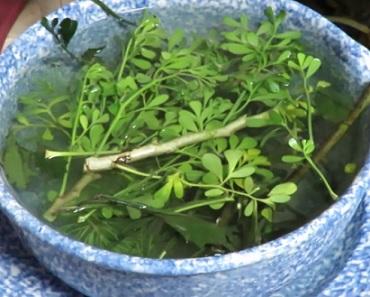 U některých čerstvých bylinek se využívá i macerování...
