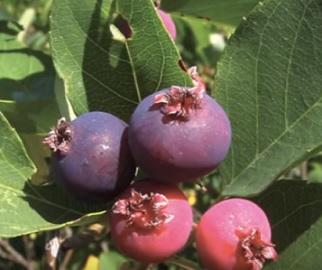 Plody muchovníku, stejně třeba jako zelený čaj, obsahují velké množství polyfenolových sloučenin...