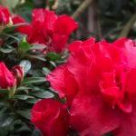 Olej z kamélie japonské (kaméliový olej) – na co se dá použít?