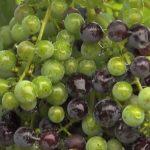 Třísloviny (Taniny) a zdraví – jaké jsou nejlepší potravinové zdroje tříslovin?