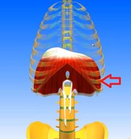 Bránice je svalo-šlachová blána oddělující orgány hrudního koše a břicha.