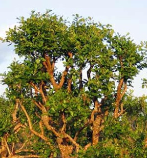 Důvod, proč se celý svět zajímá o tento strom, je vlastně kvůli velmi silné chemické látce nalezené v kůře tohoto druhu stromu - yohimbinu.