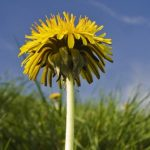 Otravný plevel? Ne, tyto bylinky jsou pro vaše zdraví super!
